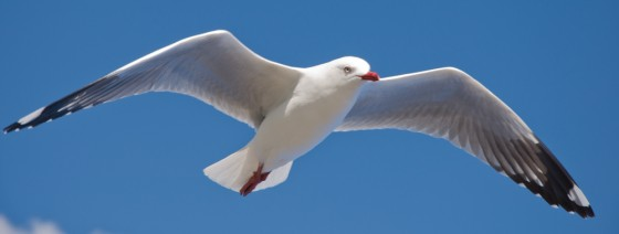 Sea Gull Flying with blue sky