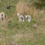 More Lambs