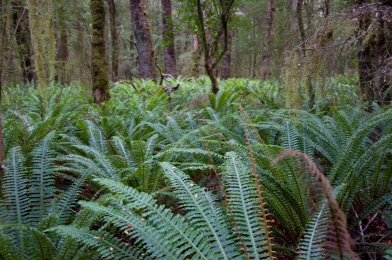 The Ferns in the Forest