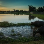 Water Buffalo among rice paddies, Siem Reap, Cambodia